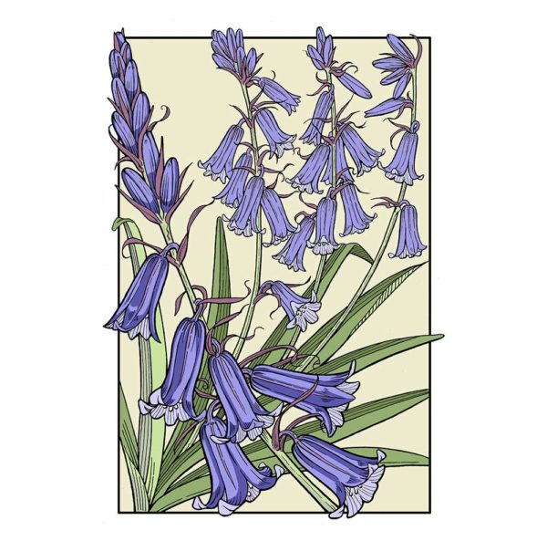 David Hall Artist Bluebell graphic plant