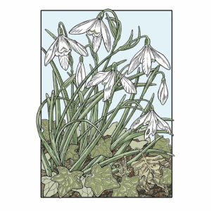 David Hall Artist Snowdrop Graphic Art